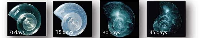 auflösung-schale-pteropod-durch-versauerung-der-ozeane