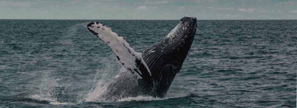 Springender Wal aus dem Meer